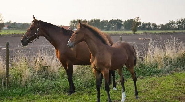 Två hästar från Stall T:s avel, ute i hagen. Just Perfect T och Jazza Lavec