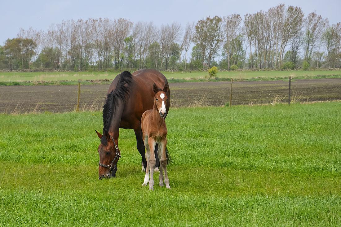 Två hästar från Stall T:s avel. Just Perfect T och Jazza Lavec
